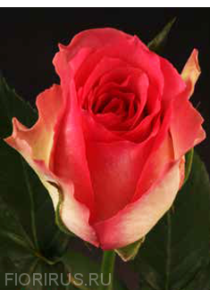 Роза Эквадор Малибу (Malibu)