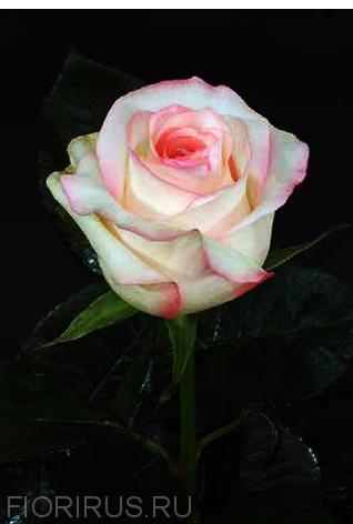 Роза Эквадор C' est la Vie