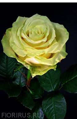 Роза Эквадор Такини (Takini)
