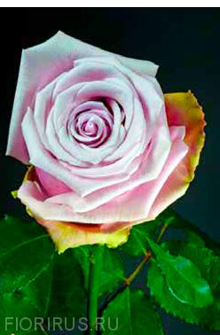 Роза Эквадор Акапелла (Acapella)