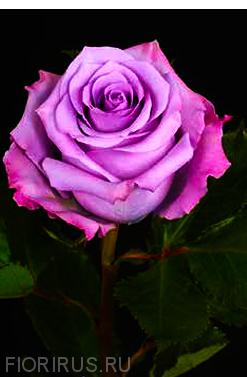 Роза Эквадор Оушн Сонг (Ocean Song)
