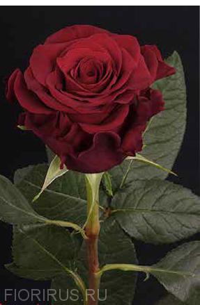 Роза Эквадор Скарлата (Scarlata)