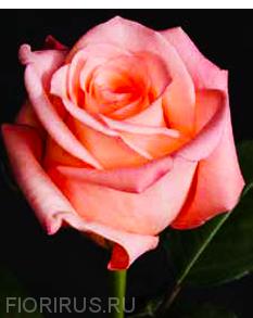 Роза Эквадор Ангажемент (Engagement)
