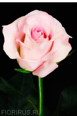 Роза Эквадор Свит Акито (Sweet Akito).