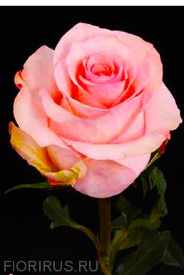 Роза Эквадор Арлин (Arleen)