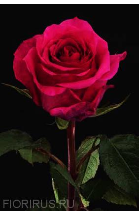 Роза Эквадор Куин Берри (Queen Berry)