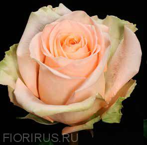 Роза Эквадор Тиффани (Tiffany)