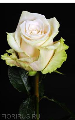 Роза Эквадор Сенди (Sandy)