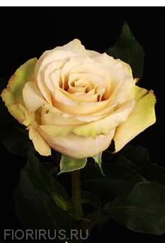 Роза Эквадор Kвик санд (Quicksand)