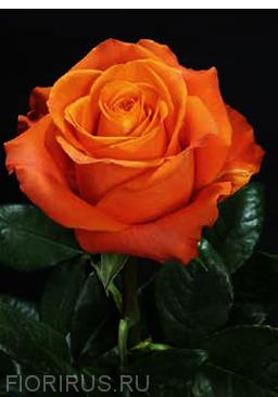 Роза Эквадор Нексус (Nexus)