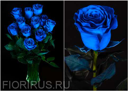 Роза Эквадор Блу (Blue)