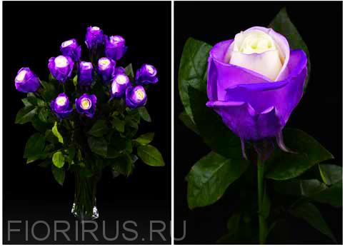 Роза Эквадор Перпл спрэй (Purple Spray)