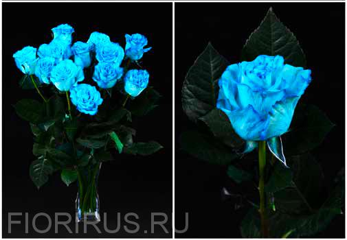 Роза Эквадор  Туркуаз (Turquoise)