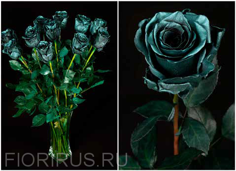Роза Эквадор Дарк агуа (Dark Agua)