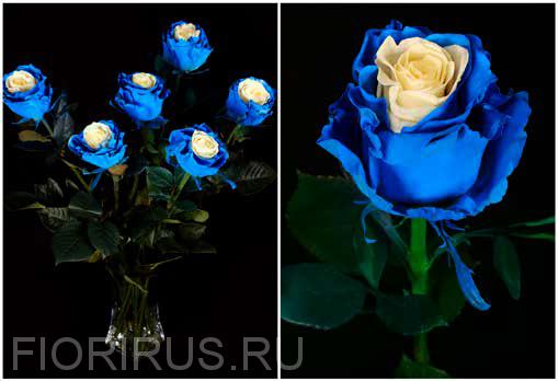 Роза Эквадор Эдж мондиал блу (Edge Mondial Blue)