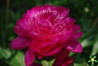 Пион травянистый 'Принцесса Маргарет / Peonia 'Princessa Margaret'