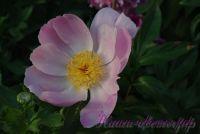 Пион травянистый 'Нимфа' / Peonia 'Nymphe'