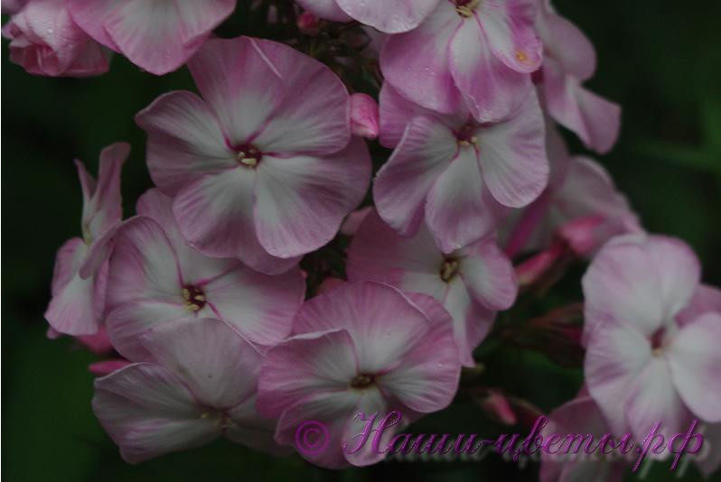 Флокс 'Цветущая Сакура' / Phlox 'Cvetushhaja Sakura'