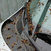 Удаление тополиных почек и смолы растений