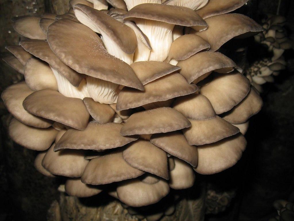Мицелий вешенки обыкновенной (250 г)