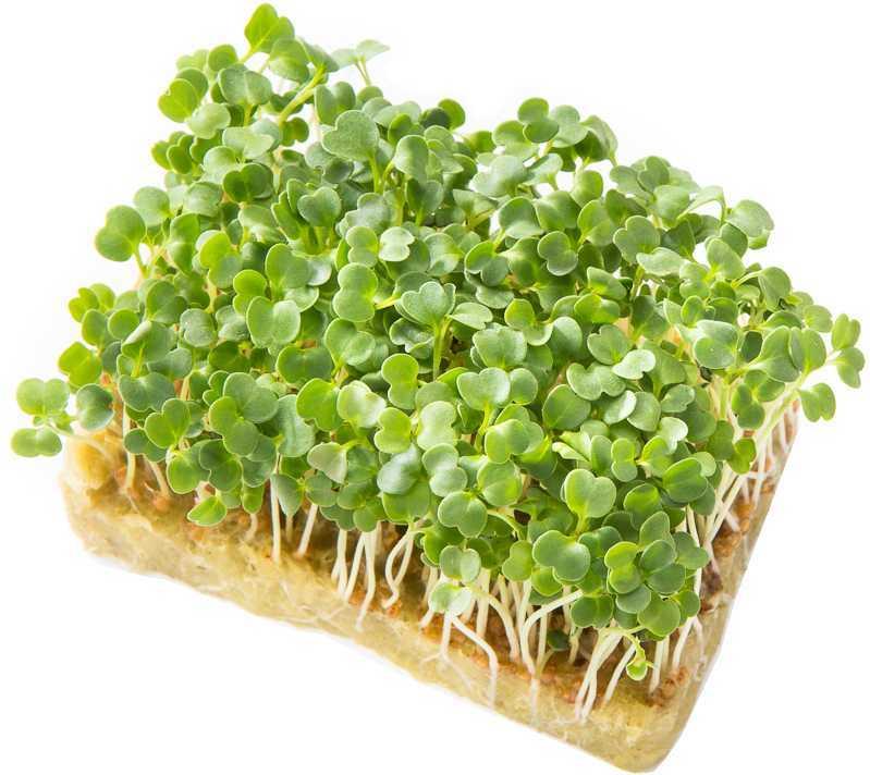 набор для выращивания микрозелени  Руккола