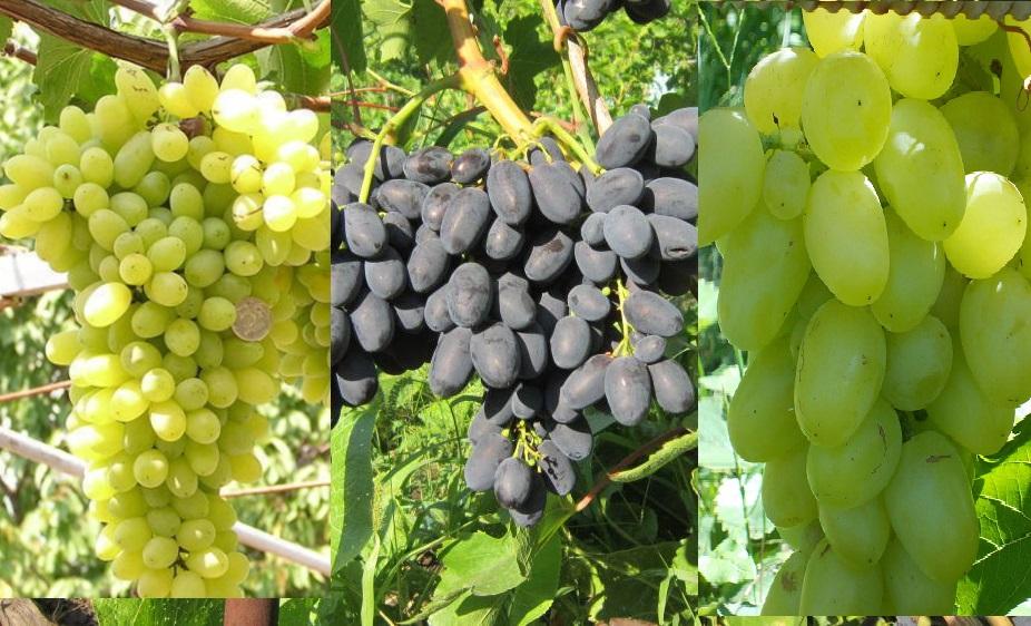 комплект винограда крымский ранний