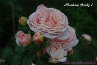 Роза 'Абрахам дарби' / Rose 'Abraham Darby'