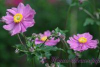 Анемона гибридная 'Серенада' / 'Serenade' (розовая)