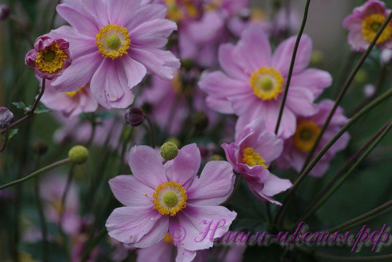 Анемона гибридная 'Серенада' / Anemone hybride 'Serenade' (махровая)