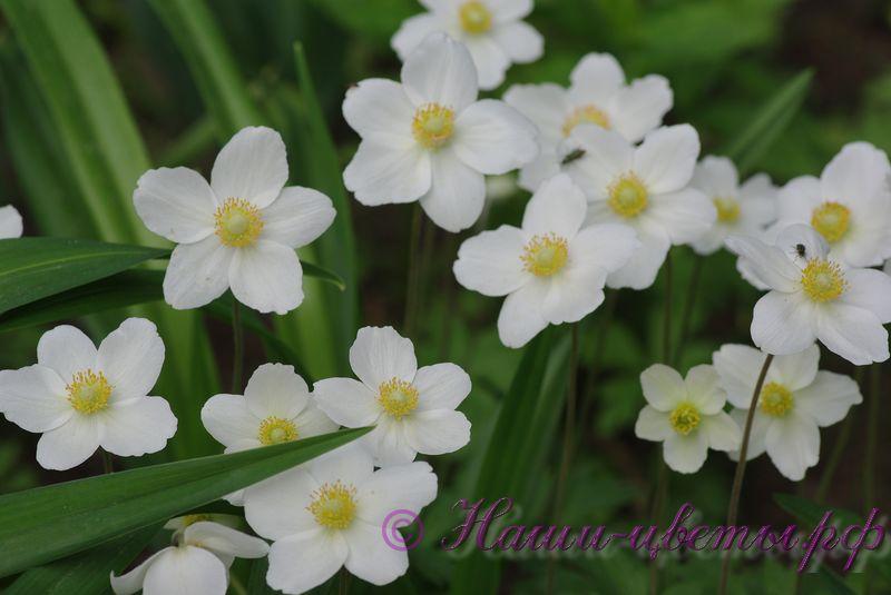 Анемона, ветреница дубравная (белая) / Anemone nemorosa