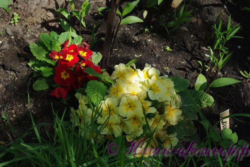 Примула в ассортименте / Primula mix of varieties