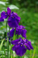 Ирис японский 'Пёпл Парасол' / Iris ensata 'Purple Parasol'