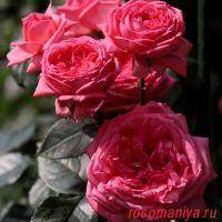 Ля Роз дэ Молинар (La Rose de Molinard)