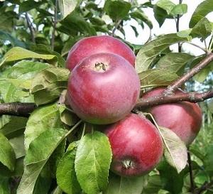 Яблоня Алеся 2х летка