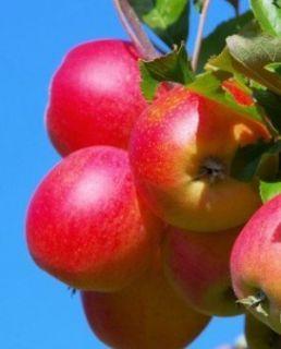 Яблоня Елена 2х летка