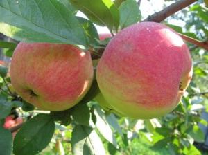 Яблоня Мельба 2х летка