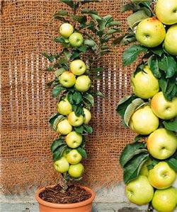 Яблоня колоновидная МЕДОК 2х летка