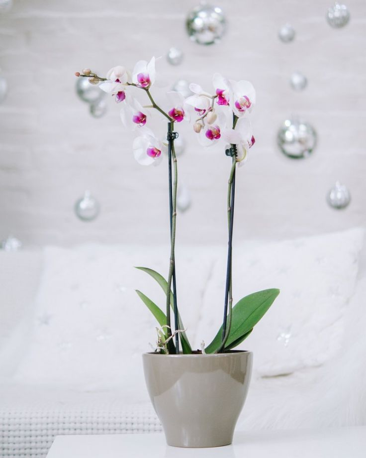 Орхидея Фаленопсис 2ст Белая Д-12