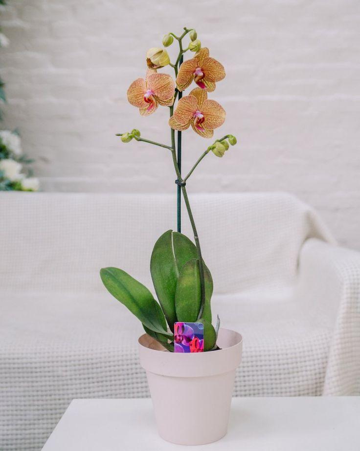 Орхидея Фаленопсис 1ст Оранжевая Д-12