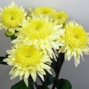 Хризантема корейская GOMPIE WHITE