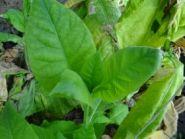 Семена табака сорта Дюбек Лимонный