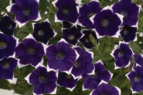 Петуния Cascadias Rim Violet