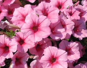 Петуния Famous Pink Vein