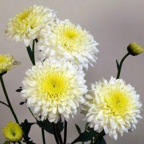 № 19 Хризантема Gerrie Hoek White