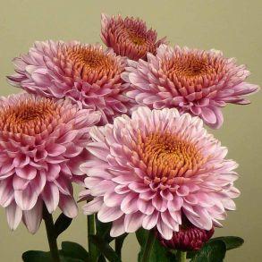 № 32 Хризантема Blenda Pink