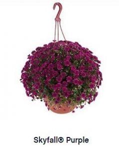 Хризантема ампельная Skyfall Purple