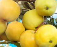 Яблоня традиционная Папир Янтарное
