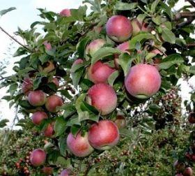 Яблоня традиционная Вильямс Прайд (суперкарлик)