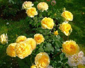 Английская роза Molineux (Austin, 1994 г.)