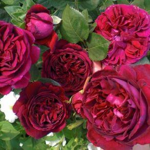 Английская роза Falstaff (Austin, 1999 г.)